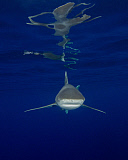 BBA400191U © Stocktrek Images, Inc. An oceanic whitetip shark and surface reflections at Cat Island in the Bahamas.