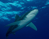 BBA400193U © Stocktrek Images, Inc. An oceanic whitetip shark at Cat Island in the Bahamas.
