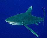 BBA400194U © Stocktrek Images, Inc. An oceanic whitetip shark at Cat Island in the Bahamas.