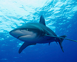 BBA400195U © Stocktrek Images, Inc. An oceanic whitetip shark at Cat Island in the Bahamas.