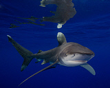 BBA400196U © Stocktrek Images, Inc. An oceanic whitetip shark at Cat Island in the Bahamas.