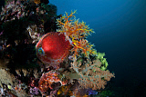 ETH400481U © Stocktrek Images, Inc. A colorful sea apple clings to a reef in indonesia.
