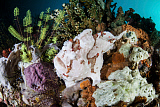 ETH400482U © Stocktrek Images, Inc. A giant frogfish blends into its reef surroundings in Indonesia.