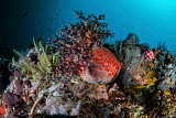 ETH400484U © Stocktrek Images, Inc. A colorful sea apple clings to a reef in indonesia.