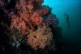 ETH400485U © Stocktrek Images, Inc. Soft corals and invertebrates grow on a deep reef in  Indonesia.