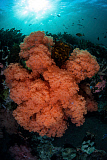 ETH400486U © Stocktrek Images, Inc. Soft corals and invertebrates grow on a deep reef in  Indonesia.