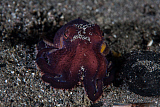 ETH400489U © Stocktrek Images, Inc. A coconut octopus crawls across the sandy seafloor.