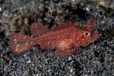 ETH400490U © Stocktrek Images, Inc. A juvenile Ambon scorpionfish on the sandy seafloor of Indonesia.