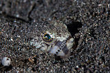 ETH400491U © Stocktrek Images, Inc. A lizardfish lays in sand in Komodo National Park, Indonesia.