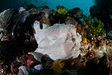 ETH400497U © Stocktrek Images, Inc. A giant frogfish blends into its reef surroundings in Indonesia.