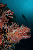 ETH400499U © Stocktrek Images, Inc. Vibrant soft corals thrive on a deep reef in Indonesia.