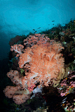 ETH400500U © Stocktrek Images, Inc. Vibrant soft corals thrive on a deep reef in Indonesia.