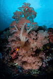 ETH400503U © Stocktrek Images, Inc. Vibrant soft corals thrive on a deep reef in Indonesia.
