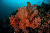 ETH400504U © Stocktrek Images, Inc. Vibrant soft corals thrive on a deep reef in Indonesia.