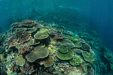 ETH400550U © Stocktrek Images, Inc. Healthy reef-building corals thrive in Komodo National Park, Indonesia.