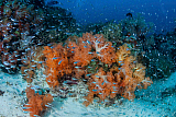 ETH400560U © Stocktrek Images, Inc. Cardinalfish surround a beautiful set of soft corals in Indonesia.