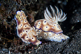 ETH400580U © Stocktrek Images, Inc. A pair of colorful nudibranch crawling across black sand in Indonesia.