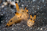 ETH400594U © Stocktrek Images, Inc. A pair of Thecacera nudibranch mating on the seafloor.