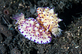 ETH400602U © Stocktrek Images, Inc. A pair of Mexichromis nudibranch circle each other trying to mate.
