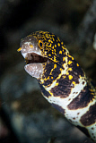ETH400606U © Stocktrek Images, Inc. A snowflake moray eel pokes its head out of a hole.