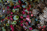 ETH400645U © Stocktrek Images, Inc. Colorful tunicates grow among coral polyps.