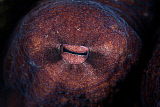 ETH400951U © Stocktrek Images, Inc. Detail of the eye of an octopus (Octopus cyanea) in Indonesia.