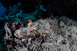ETH400971U © Stocktrek Images, Inc. A large crocodilefish lies in wait for prey on the seafloor, Indonesia.