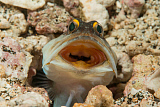 MME400473U © Stocktrek Images, Inc. Gold-specs Jawfish in its hole with mouth open, Philippines.