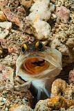 MME400474U © Stocktrek Images, Inc. Gold-specs Jawfish in its hole with mouth open, Philippines.