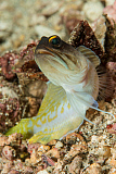 MME400476U © Stocktrek Images, Inc. Gold-specs jawfish, Anilao, Philippines.
