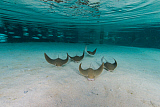 MME400603U © Stocktrek Images, Inc. School of cownose ray in formation over white sandy bottom.