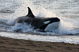 VWP400379U © Stocktrek Images, Inc. A killer whale hunting South American sea lion pups in the surf.