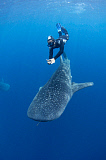 VWP400646U © Stocktrek Images, Inc. A snorkeler dives down with a whale shark, Raja Ampat, Indonesia.