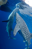 VWP400648U © Stocktrek Images, Inc. A pair of whale sharks feeding under a fishing platform.