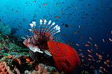 VWP400754U © Stocktrek Images, Inc. Coral grouper and lionfish hunting anthias in a coral reef.