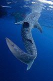 VWP400834U © Stocktrek Images, Inc. A whale shark feeds at the surface under a bagan fishing boat.
