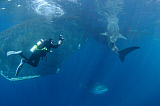 VWP400836U © Stocktrek Images, Inc. A diver interacts with a whale shark under fishing boat, Indonesia.