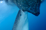 VWP400837U © Stocktrek Images, Inc. A whale shark sucks on a net full of fish in Cenderawasih Bay, Indonesia.