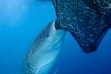 VWP400838U © Stocktrek Images, Inc. A whale shark sucks on a net full of fish in Cenderawasih Bay, Indonesia.