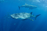 VWP400846U © Stocktrek Images, Inc. Two whale sharks feeding under a bagan fishing boat in Indonesia.