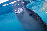 VWP400852U © Stocktrek Images, Inc. A whale shark feeds at the surface under a bagan fishing boat.