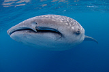 VWP400857U © Stocktrek Images, Inc. Close-up photo of a whale shark in Cenderawasih Bay, Indonesia.