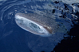VWP400861U © Stocktrek Images, Inc. A whale shark breaks the surface with its mouth while collecting baitfish.