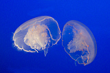 VWP401070U © Stocktrek Images, Inc. Pair of moon jellyfish.