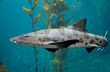 VWP401071U © Stocktrek Images, Inc. Leopard shark.