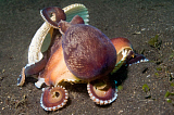 VWP401141U © Stocktrek Images, Inc. Coconut octopus carries a sea shell, Lembeh Strait, Indonesia.