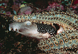 VWP401283U © Stocktrek Images, Inc. Varied carpet shark being attacked by an Eleven Armed Sea Star.