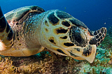 VWP401428U © Stocktrek Images, Inc. Hawksbill sea turtle searching for food, Caribbean Sea, Mexico.