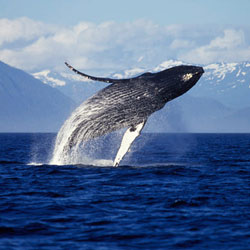 HUMPBACK WHALES Stock Photos and Pictures