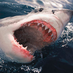 SHARKS Stock Photos and Pictures